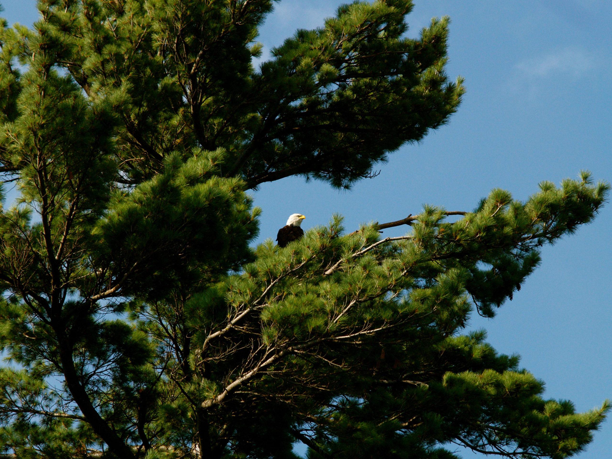 Deer Lake - Eagle in a tree